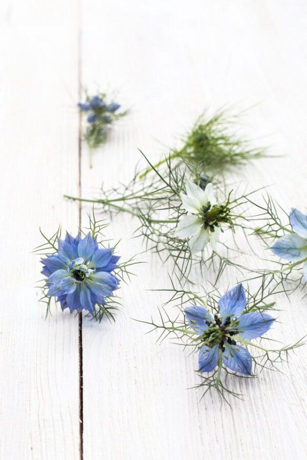 kwiat czarnuszki