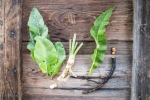 chrzan - korzeń i liść