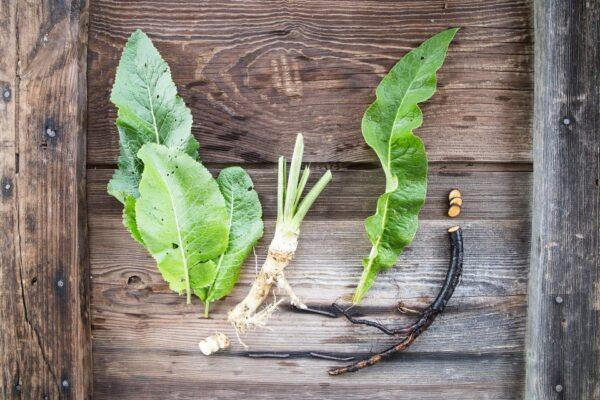chrzan, żywokost – korzeń i liść