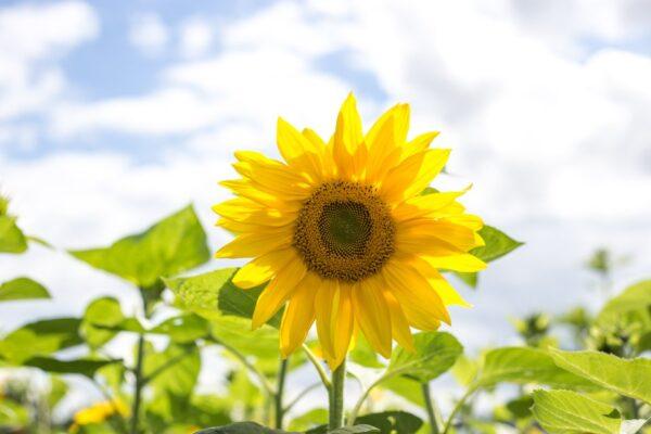 słonecznik i płatki słonecznika