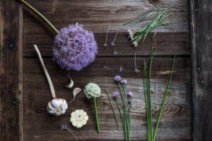 kwiat czosnku, szczypiorku, szczypiorku czosnkowego i czosnku niedźwiedziego