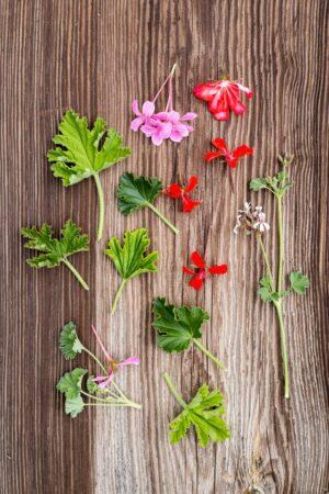 listki smakowe pelargonii