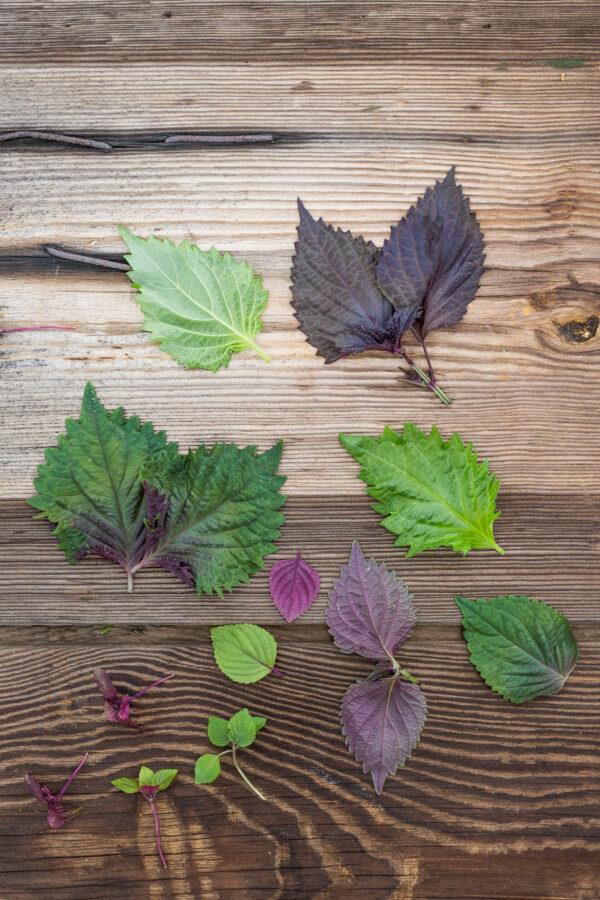 pachnotka, sisho, perilla fioletowa, zielona, dwukolorowa