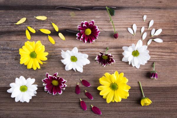 chryzantema kwiaty i płatki