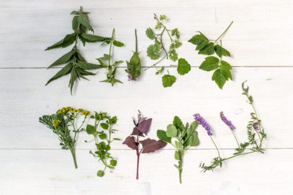 wyka ptasia, bluszczyk kurdyganek, gwiazdnica, podagrycznik, dzikie zioła